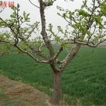 5公分山楂樹6公分山楂樹