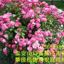 庭院別墅綠籬植物薔薇