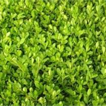 大叶黄杨苗价格|10公分高一年生大叶黄杨苗价格