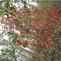 广西香樟小苗、广西香樟小苗、桂林香樟小苗