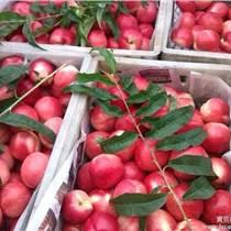陜西油桃代辦 油桃供應商 油桃合作社