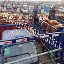 西门塔尔牛供应专业快速