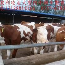 山东双利牧业大型肉牛养殖场、常年销售鲁西黄牛、西门塔尔牛、利木赞牛、夏洛莱牛、三元杂交牛