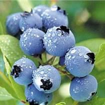 藍莓提取物 藍莓原花青素