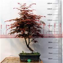 日本紅楓盆景老樁造型盆景
