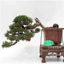 日本紀州真柏盆景老樁造型盆景