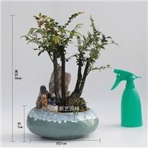 小葉紫檀老樁造型盆景一棵多分支