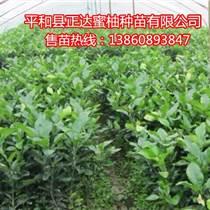 供應兩年生三紅蜜柚苗60-100公分