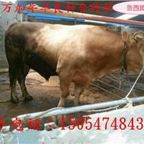 肉牛犢肉牛