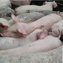 平山仔猪供应价格实惠