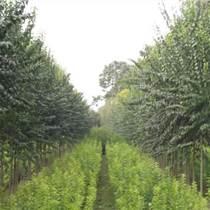 品種:矮化蘋果樹苗,嫁接蘋果苗