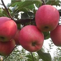 花冠苹果价格花冠苹果厂家直销
