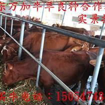 安顺牧草养牛挣钱吗