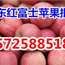 今日紅富士蘋果基地批發價格