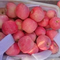 紅富士蘋果產地大降價