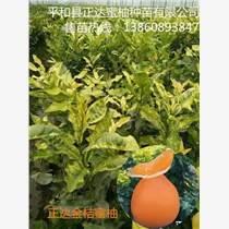 廣西金桔蜜柚苗|廣西黃金蜜柚苗|廣西黃肉蜜柚苗