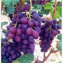 超早熟葡萄苗批發 大棚葡萄新品種葡萄苗直銷