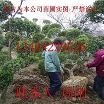 苏州黄杨树种植基地、小叶黄杨树、瓜子黄杨树、苏州庭院苗木批发