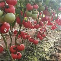 供应西红柿种苗 A8粉柿子苗