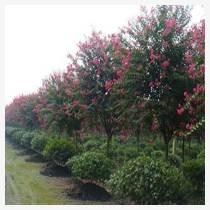 櫻花樹苗批發價格
