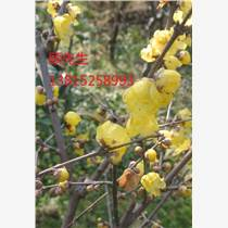 苏州腊梅树别墅绿化、苗木市场