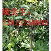 苏州苗木市场、苏州桂花树花木
