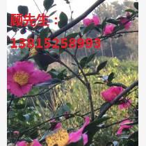 蘇州別墅綠化施工造型樹古樁基地
