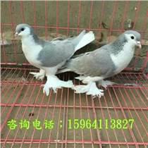 杭州仙女鴿價格
