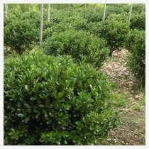 供應50厘米衛矛綠化苗價格