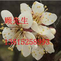 蘇州光福香雪梅園梅花樹苗木基地