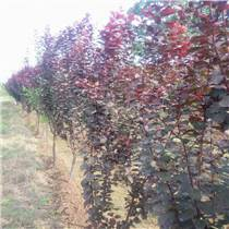 红叶李 绿化树苗