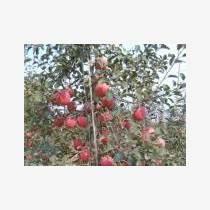 供应矮化苹果以及乔化苹果品种苗