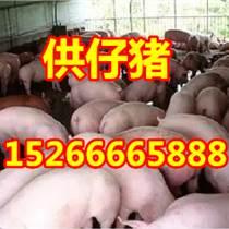 今日仔猪价格行情苗猪批发