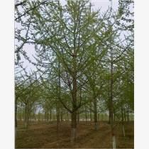 园艺绿化苗木、银杏树白蜡香椿树
