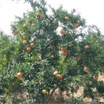 綠化苗木果樹蘋果樹桃樹梨樹棗樹