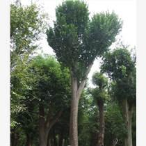绿化工程绿化养护、法桐法国梧桐