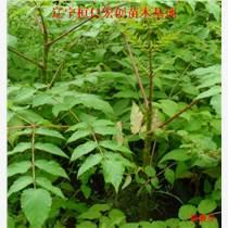 刺嫩芽小苗、刺嫩芽基地