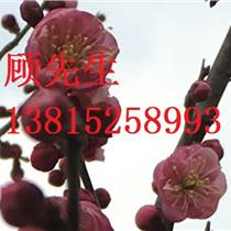 苏州石榴树、别墅庭院绿化工程、批发精品石榴树价格、苏州景观树绿化苗木、庭院景观施工