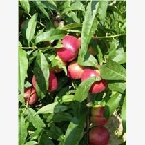 陜西大棚中油5油桃價格,518油桃產地價格,中油12油桃基地價格