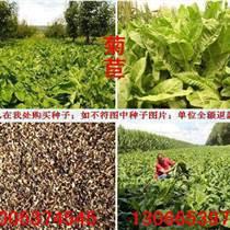 ?#20998;?#33738;苣种子品种与菊苣种子价格