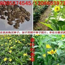 目前串叶松香草种子多少钱一斤串叶松香草种子哪里有卖的