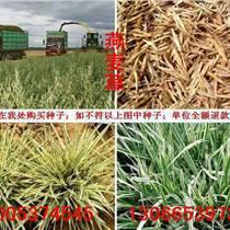 哪里有卖燕麦草种子价格的一亩地需要种植多少益母草种子