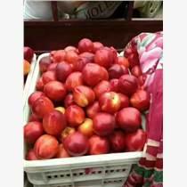 山東油桃批發市場