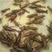 2019年小龙虾种苗多少钱一斤