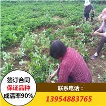 章姬草莓苗 2017年章姬草莓苗價格 章姬草莓苗批發基地