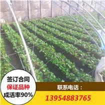 法蘭地草莓苗 法蘭地草莓苗價格 哪里的法蘭地草莓苗價格低