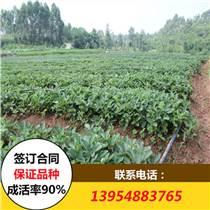 甜查理草莓苗 甜查理草莓苗價格 甜查理草莓苗批發基地