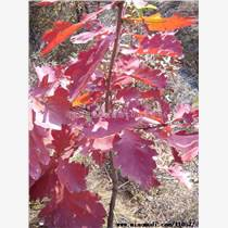 供槲栎种子10吨