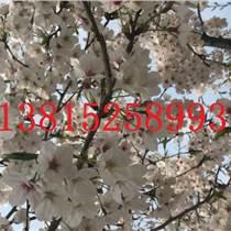 苏州樱花树苗木基地,樱花,国樱,日本樱花,苏州绿化工