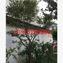 低價批發特色造型黃楊,蘇州私家園林造型精品苗木,綠化